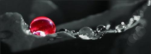 Dew on rose petal